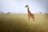 Giraffe at Serenget in National Park Tanzania
