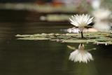 Reflection Lotus Flower