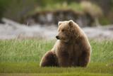 Brown Bear  Katmai National Park  Alaska  USA