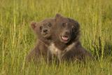 Brown Bear Cubs  Lake Clark National Park  Alaska  USA