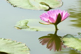 Beautiful Blooming Lotus Flower or Water Lily with its Reflection Shadow in Blue Water