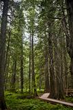 A Boardwalk between Tall Trees