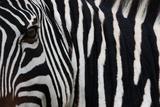 Zebra  Equus Quagga Burchellii  Ngorongoro Conservation Area  Tanzania  Africa