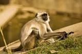 Langur in Ranthambore