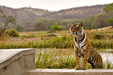 Wild Tiger Walking over a Wall in Ranthambhore