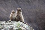 Baboons Looking at View  Drakensberg Amphitheatre  Ukhahlamba-Drakensberg Park  Kwazulu-Natal  Sout