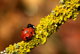 Ladybird on Branch