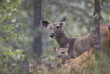 Sambar Deer  Female with Young