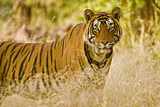 Portrait of a Male Tiger in Ranthambore