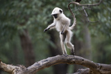 Common Langur  Young One Playing