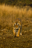 Approaching Wild Tiger in Ranthambhore