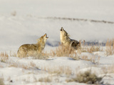 Two Coyote