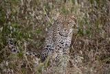 Panthera Pardus/African Leopard