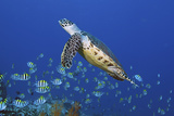 Hawksbill Turtle and Schooling Sergeants