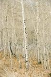 Aspen Trees  Sugarhouse Park  Salt Lake City  Utah