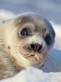 Young Harp Seal Papier Photo par Stephen Desroches