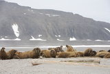 Walrus Colony on Arctic Beach