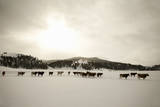 Herd of Cattle in Snowy Field