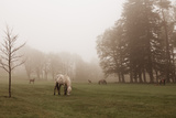 Dartmoor Ponies in Mist