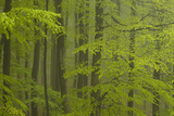 Beech Forest (Fagus Sylvatica)  Fresh Green Leaves  Fog after Heavy Rain  Spessart  Bavaria  German