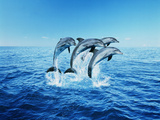 Bottle-Nose Dolphins (Tursiops Truncatus) Breaching