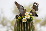 Dove and Woodpecker on Blooming Saguaro Cactus