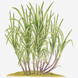 Illustration of Saccharum Officinarum (Sugarcane) Bearing Multiple Stems from Lateral Shoots at Bas