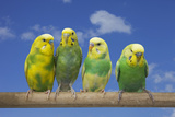 Four Parrots on a Pole