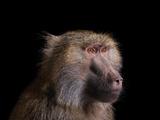 Studio Portrait of a Female Baboon