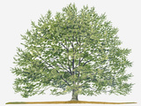 Illustration of Fagus Sylvatica  (European Beech or Common Beech) Deciduous Tree