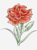 Illustration of a Red Carnation