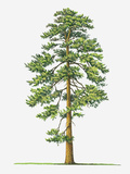 Illustration of Evergreen Pinus Ponderosa (Ponderosa Pine) Tree