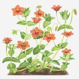 Illustration of Anagallis Arvensis (Scarlet Pimpernel)  Red Flowers