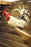 Kelso Roosters Perched in a Backyard Coop