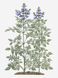 Illustration of Salvia Miltiorrhiza (Red Sage) with Purple Flowers on Tall Stems