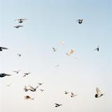 Pigeons in Flight  Lucknow  Uttar Pradesh  India