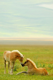 Horses Foals in Field Papier Photo par Vittorio Ricci - Italy