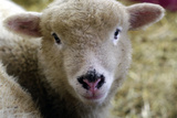 Baby Lamb Portrait