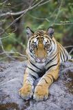 India  Bandhavgarh National Park  Tiger Cub Lying on Rock