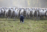 Flock of Sheep and Dog