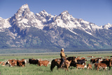Cowboy Tending Cattle on Ranch  WY