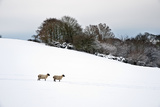 Sheep (Ovis Aries) in a Snow Covered Field