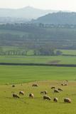 Herd of Sheep Grazing on Grass