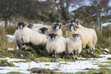 Black-Faced Sheep  Group in Snow  Scotland