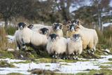 Black-Faced Sheep, Group in Snow, Scotland Papier Photo par Mike Powles