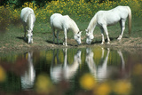 Anim031 Chincoteague Wild Ponies  VA