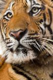 Indochinese or Corbett's Tiger  Thailand
