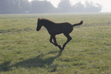 Foal Galloping in Field