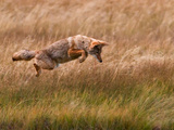 Coyote Leaping - Gibbon Meadows