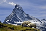 Matterhorn with Sheep from Hohbalmen